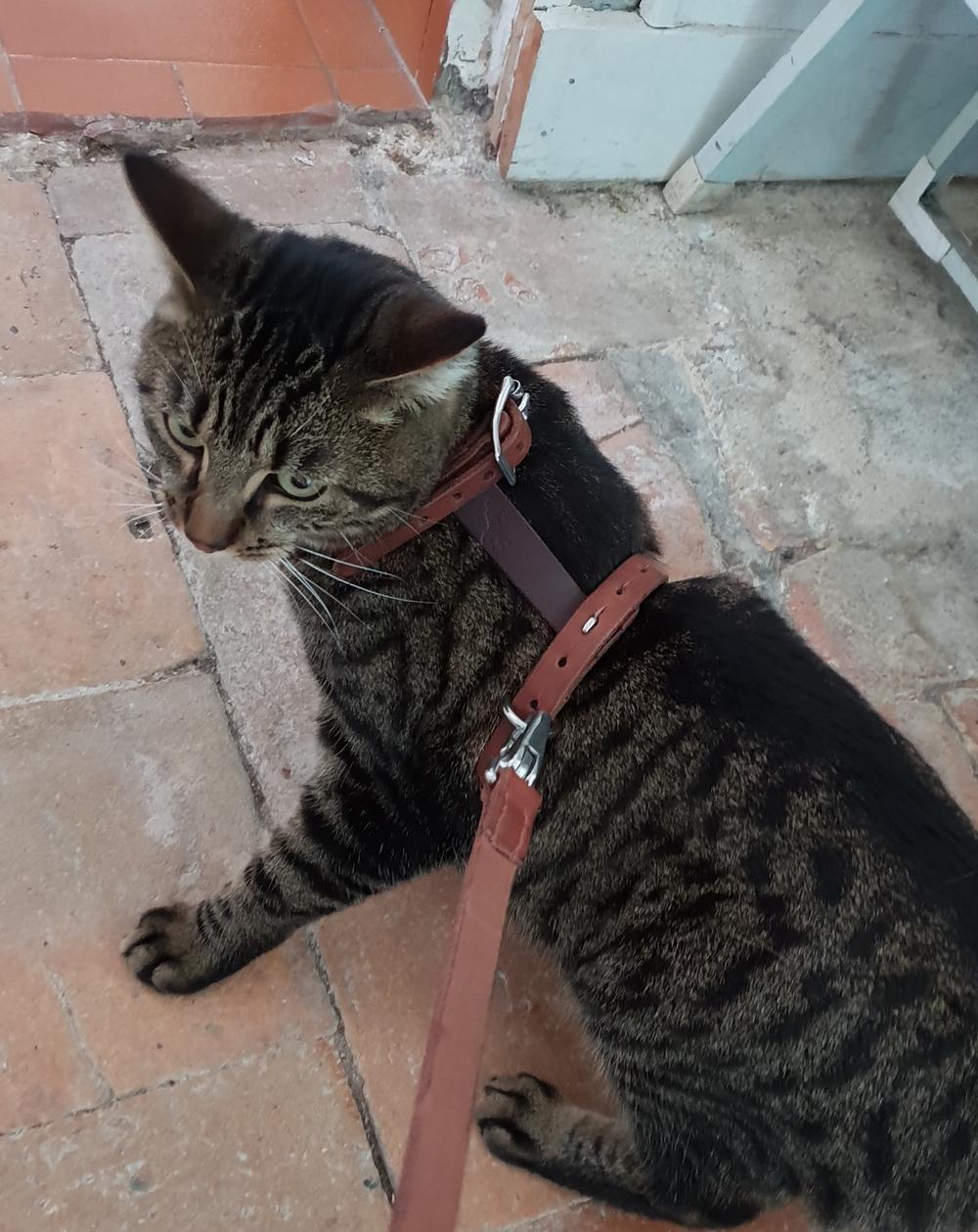 harnais cuir chat
